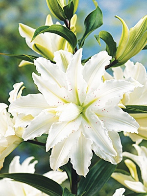 Double Oriental Lily Bowl of Beauty