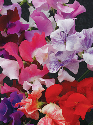 Sweet Pea Equinox Mix