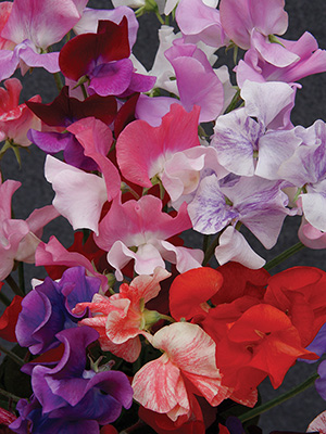 Sweet Pea Kaleidoscope Mix
