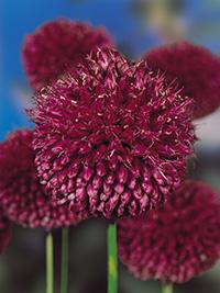 Allium Sphaerocephalon - Pack of 3
