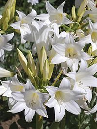 Amaryllis Belladonna White - Sorry Sold Out