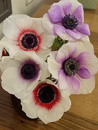 Anemone Bi Colour