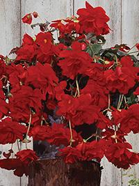 Begonia Cascade Scarlet