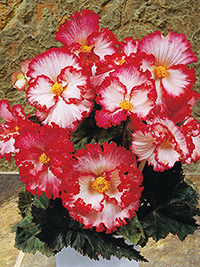 Begonia Crispa White
