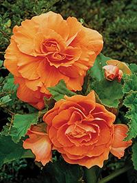Begonia Double Orange - 1 Tuber