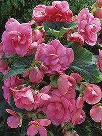 Begonia Double Pink - 1 Tuber