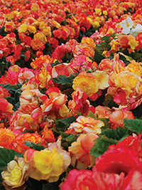 Begonia Mixed