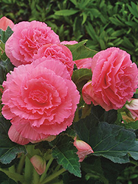 Begonia Fimbriated Pink - 1 Tuber