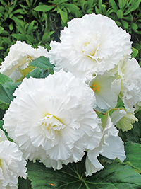 Begonia Fimbriated White - 1 Tuber