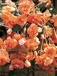 Begonia Illumination Apricot - 1 Tuber