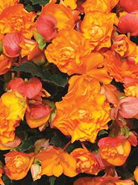 Begonia Illumination Orange - 1 Tuber
