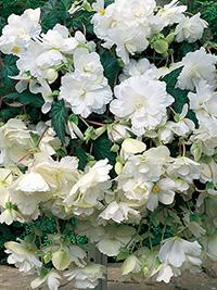 Begonia Illumination White - 1 Tuber