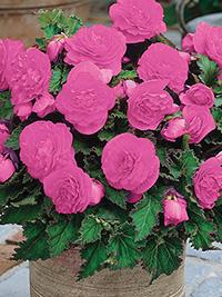 Begonia Non Stop Pink - 1 Tuber