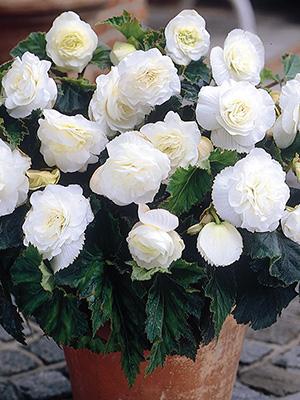Begonia Non Stop White - 1 Tuber