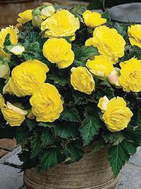 Begonia Non Stop Yellow - 1 Tuber
