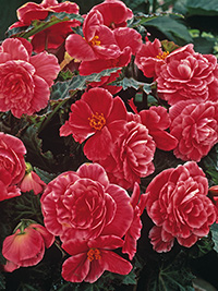 Begonia On Top Melon Lace
