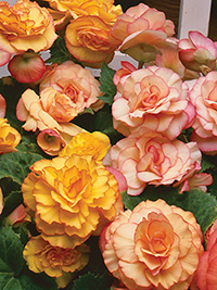 Begonia On Top Sunset Shades