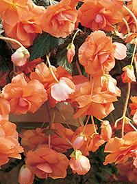 Begonia Pendular Apricot