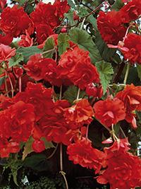 Begonia Pendular Red
