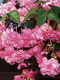 Begonia Pendular White/Pink