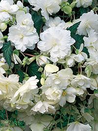 Begonia Pendular White