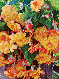 Begonia Pendular Yellow/Red