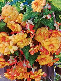 Begonia Pendular Yellow/Red