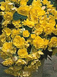Begonia Pendular Yellow