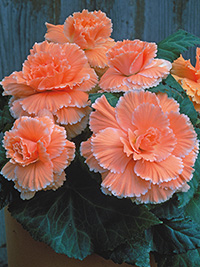 Begonia Picotee Apricot Lace - PACK OF 3