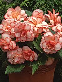 Begonia Picotee Calypso