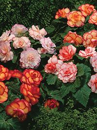 Begonia Mix Picotee