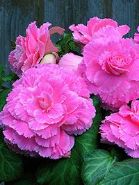 Begonia Picotee Pink Lace