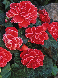 Begonia Picotee Red Lace - PACK OF 3