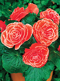 Begonia Picotee Salmon Lace - PACK OF 3