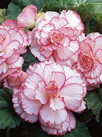 Begonia Picotee White/Pink