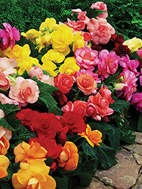 Begonia Mix Roseform