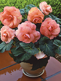 Begonia Roseform Peach - PACK OF 3