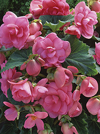 Begonia Roseform Pink - PACK OF 3