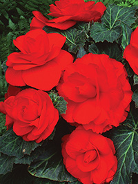 Begonia Roseform Red - PACK OF 3