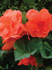 Begonia Roseform Salmon - PACK OF 3