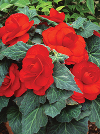 Begonia Roseform Scarlet - PACK OF 3