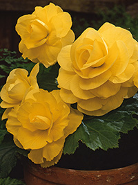 Begonia Roseform Yellow - PACK OF 3