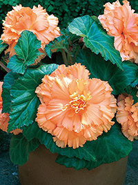 Begonia Ruffled Apricot - PACK OF 3