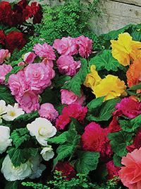 Begonia Mix Ruffled