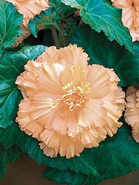 Begonia Ruffled Peach