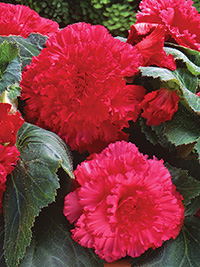 Begonia Ruffled Rose