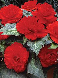Begonia Ruffled Scarlet