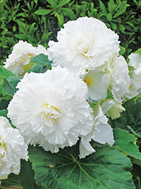 Begonia Ruffled White