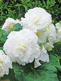 Begonia Ruffled White