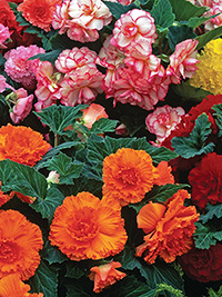 Begonia Upright Mix - PACK OF 10